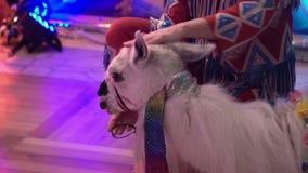 White lama indoors stock video