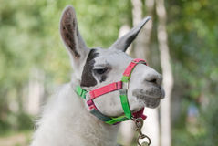 White lama. With a leash Stock Images