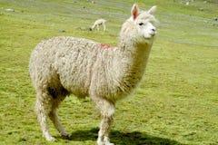 White lama Stock Images