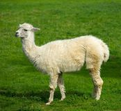 White lama. On a meadow Royalty Free Stock Image