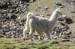 White lama in mountain valley. The llama, Lama glama domesticated South American camelid animals on the green meadow in the Andes mountain Stock Image