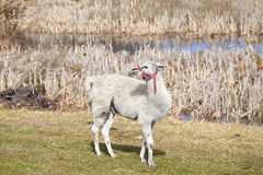 White lama on a natural pasture. White lama on a natural pasture in the springtime Royalty Free Stock Photo