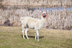 White lama on a natural pasture. White lama on a natural pasture in the springtime Royalty Free Stock Images