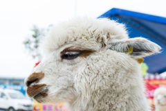 White Lama pacos. With DNA identification in the ear Royalty Free Stock Photography