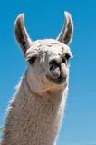 White lama. Portrait of a white lama Stock Photography