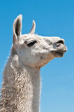 White lama Stock Photography