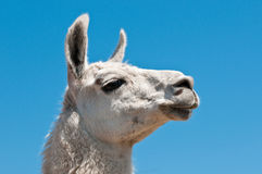 White lama Royalty Free Stock Photo