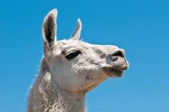 White lama. Portrait of a white lama Royalty Free Stock Photo