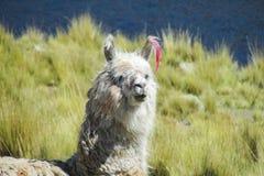 White lama portrait. Furry lama Stock Photo