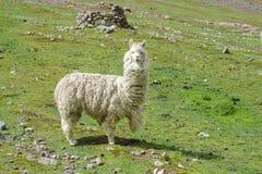 White lama portrait Stock Image