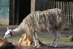 White Lama. Lama standing on farm. Foto taken in ouwehands zoo in rhenen Royalty Free Stock Photo