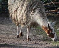 White Lama. Lama standing on farm. Foto taken in ouwehands zoo in rhenen Stock Photography