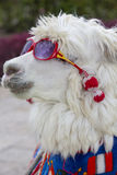 White lama wearing sunglass and a colored scarf, Peru Stock Photography