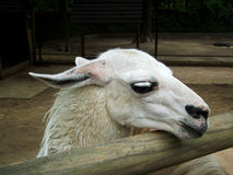White lama with head on a wood hence Stock Images