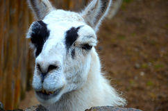 White lama. At the zoo Royalty Free Stock Photography
