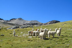 White lamas on green grass in mountain valley Royalty Free Stock Images