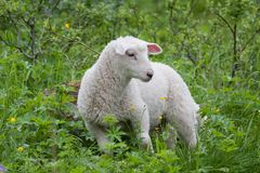 White lamb. Small white lamb standing in high grass Royalty Free Stock Photo