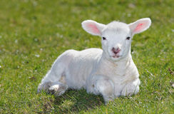 White lamb. White cute lamb in farmers field