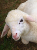White Lamb Stock Image
