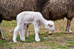 White lamb Stock Photo