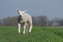 White lamb bleating and running Royalty Free Stock Photo