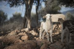 Newborn Resting Lamb and flock in winter. Royalty Free Stock Image