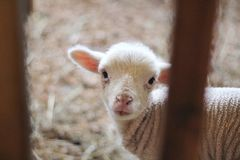 White Lamb in Close Up Photography Royalty Free Stock Images