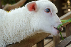 White lamb eating grass Royalty Free Stock Photography