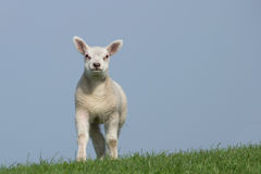 White lamb facing the camera Royalty Free Stock Photography