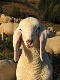White lamb in a flock in the mountain Royalty Free Stock Photos