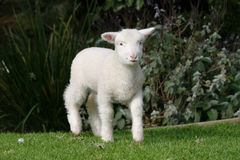 White lamb on the grass. Pet white lamb on the grass in the garden royalty free stock image