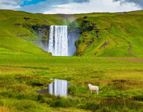 The white lamb is grazed. Grandiose falls Skogafoss in Iceland. On a meadow before falls the white lamb is grazed Stock Photo