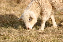White lamb grazing Royalty Free Stock Photo