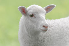White lamb on green background Stock Photos