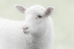 White lamb on green background Stock Images