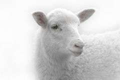 White lamb on green background Royalty Free Stock Photo