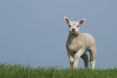 White lamb on green grass with clear blue sky Stock Photos