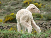 White lamb Stock Images