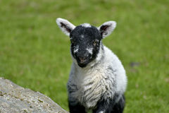 White lamb by Loughrigg Tarn Stock Photos