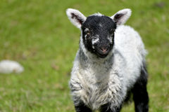 White lamb by Loughrigg Tarn Royalty Free Stock Photo