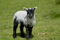 White lamb by Loughrigg Tarn Stock Photography