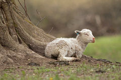White lamb Royalty Free Stock Photography
