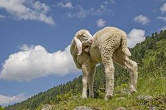 White lamb in the mountains Stock Images