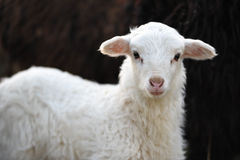 Free White Lamb On The Black Background Stock Photo - 29892190