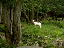 A white lamb in the pasture. Royalty Free Stock Photo