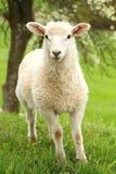 White lamb in spring Stock Photo