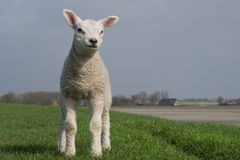 White lamb standing on green dike Royalty Free Stock Images