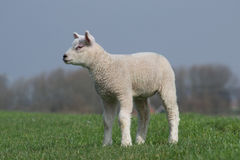 White lamb standing on green dike staring Royalty Free Stock Photography