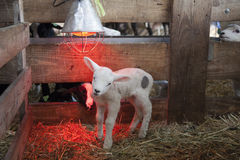 White lamb under heat lamp in barn of organic farm in holland. With black lamb in the background royalty free stock images