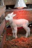 White lamb under heat lamp in barn of organic farm in holland. White lamb on straw under heat lamp in barn of organic farm in the netherlands royalty free stock photos
